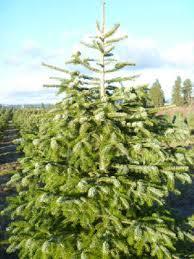 Nordmann Fir Christmas Tree Seedlings by Choose And Cut Christmas Trees