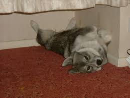 Do Samoyed Huskies Shed by Siberian Samoyed Mix Quote Has Made Me Cross