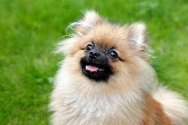 Cute Non Hypoallergenic Dogs by Do Pomeranians Have Dander Cuteness