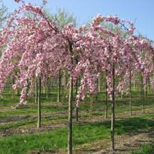 In Japanese Kiku Shidare Sakura Means Weeping Chrysanthemum Cherry It Is An Old Cultivar Which Known Since The End Of 19th Century