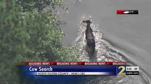 100 Cow Truck Crash On Metro Atlanta Interstate Leaves 11 Cows Dead