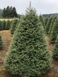 Nordmann Fir Christmas Trees Wholesale by Trees U2014 Btn Of Oregon