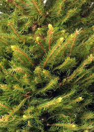 Christmas Tree 9ft Canada by Norway Spruce Christmas Tree Christmas Forest