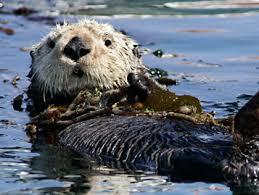 beloved monterey bay aquarium sea otter toola dies cbs san