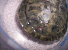 faqs about soft shell rot conditions in turtles 2