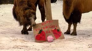 Cincinnati Zoo Halloween by Animals Get Valentine U0027s Day Treats Cincinnati Zoo Youtube