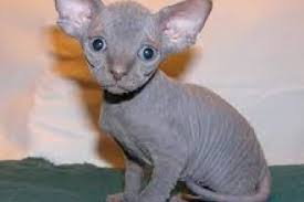 hairless cat price sphynx cat kittens for in montgomery alabama al