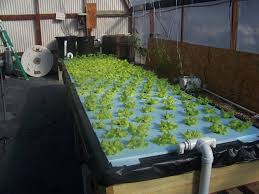 Backyard Aquaponics System Archives - Organic Garden Harvest, Inc Backyard Aquaponic Gardening System Benefits Of Backyard Greenhouse Aquaponics And Yard Design For Village Systems Aquaponics Twotiered Back Gardening Fish Farming System Food Growing Freestylefarm Pond Outdoor Fniture Design Ideas Diy Pond Images On Wonderful Endless Reviews Testimonial Collage Pics Commercial Farm Most Likely The Effective Sharingame How To