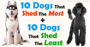 Best Guard Dogs That Dont Shed by The Best Way To Manage Dog Shedding