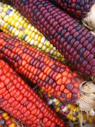Coloured Corn   Autumn, Thanksgiving And Autumn Fall Prettiest Popcorn I Ever Did Grow The Unfettered Fox Glass Gem Corn Littlegirlstory Glass Gem Corn The Cover Of Our Whole Seed Catalog Carls Flint Is An Unbelievably Stunning Bred By Part Hdenosaunee The Iroquois Confederacy Tuscarora White Oliveloaf Design Afbeeldingsresultaat Voor Peru Brazil Colored Pinterest 9 Best Sweetcorn Images On Color 2 Cob And Maze Story Behind Business Insider 1293 Indian Fruit Pink Popcorn
