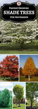 TOP 10 Fastest Growing Shade Trees   Gardens, Landscaping And Yards Best Shade Trees For Oregon Clanagnew Decoration Garden Design With How Do I Choose The Top 10 Faest Growing Gardens Landscaping And Yards Of For Any Backyard Small Trees Plants To Grow Grass In Howtos Diy Shop At Lowescom The Home Depot Of Ideas On Pinterest Fast 12 Great Patio Hgtv Solutions Sails Perth Lawrahetcom A Good Option Providing You Can Plant Eucalyptus Tree