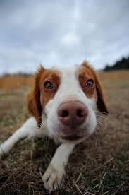 Do Brittany Spaniels Shed Hair by 161 Best Brittany Spaniels Images On Pinterest Brittany Spaniel