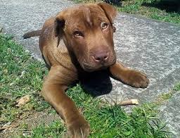 Do Shar Pei Lab Mix Shed by Sharpull Terrier All About The Shar Pei Pit Bull Mix