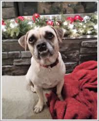 Do Pugs And Puggles Shed by Pug Adopt Local Dogs U0026 Puppies In Alberta Kijiji Classifieds