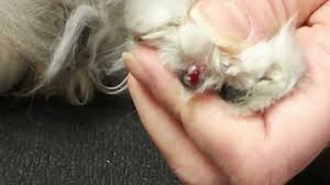 how to cut a cats nails clipping an ingrown nail on a cat