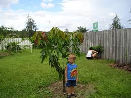 Christmas Tree Sapling Care by Seedling Mango Tree Success In Jacksonville Fl