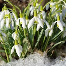 snowdrop galanthus bulbs for sale easy to grow bulbs
