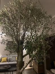 olivenbaum inkl topf