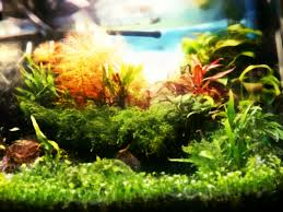 Aquascaping, Planted Fish Tank, 25 Litres High Tech Nano Aquarium ... Adrie Baumann And Aquascaping Aqua Rebell Natural Httpwwwokeanosgrombgwpcoentuploads2012 Amazoncom Aquarium Plant Glass Pot Fish Tank Aquascape Everything About The Incredible Undwater Art Outstanding Saltwater Designs Photo Ideas Anubias Nana Petite Planted Freshwater Beautify Your Home With Unique For Large Fish Monstfishkeeperscom Scape Nature Stock 665323012