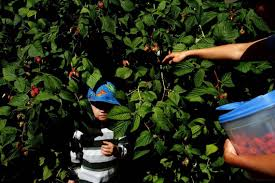 Pumpkin Patch Bellingham Wa by Whatcom County Farms Open U Pick And We Pick Strawberries