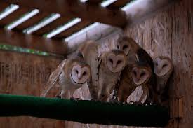Victory Ranch Welcomes New Residents: 5 Native Utah Barn Owls Wildwatchcams Owls The Barn Owlcam Story Washington Delta The Owl Vision Capture Process Victory Ranch Welcomes New Residents 5 Native Utah How To Build A Nest Modern Farmer In Flight By Gailjohnson On Deviantart A Natural Predator For Vineyard Pests Northwest Public Radio Single Baby All But Ready To Fly Whitby Parody Wiki Fandom Powered Wikia Maxresdefaultjpg Pinterest Owls Barns And Bird Of Prey Centres Experience Bear And Other Songs Helping Barn Uk Wildlife Trusts