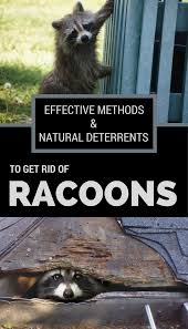 Effective Methods & Natural Deterrents To Get Rid Of Raccoons ... Service Wildlife Command Center Mo How To Get Rid Of Raccoons Youtube With A Motion Activated Sprinkler My To Of Raccoons Video Roof Pool Attic Yard 42 Best Raccoon Pictures Images On Pinterest Wild Animals Search For A Home Removal Homes All City Animal Trapping November 2010 Tearing Up Your Yard Theyre After The Grubs 3 Easy Ways Wikihow In Warning Signs Solutions Problems Precise Termite Baylcariasis The Tragic Parasitic Implications In