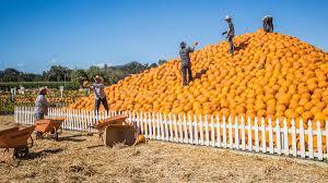 Pumpkin Farms Near South Milwaukee by Uesugi Farms Pumpkin Park Hosts Annual Great Pumpkin Weigh Off