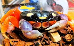 Halloween Hermit Crab Care by How To Care For Halloween Moon Crabs Petful
