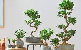 ihr bonsai verliert blätter daran liegt s mein schöner garten