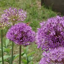 allium aflatunense bulbs purple sensation american