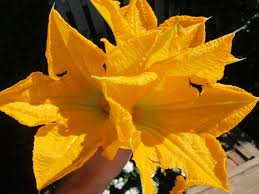 Fried Pumpkin Blossoms by 10 Beautiful Flowers To Grow U2014 And Then Eat For Dinner