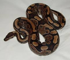 Ball Python Shedding Eating by Help My Ball Python Won U0027t Eat U201d The Troublesome Habits Of A