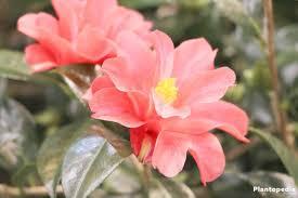 entretien du camelia en pot élia du japon camellia japonica conseils d entretien et