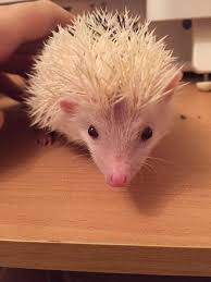 african pygmy hedgehog pets rehome buy and sell in the uk and