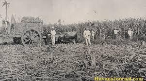 Cutting Sugarcane In Old Cuba