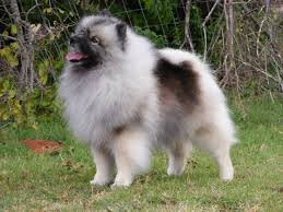 Dogs That Dont Shed Keeshond by 43 Best Keeshond Dog Love Images On Pinterest Dogs Beautiful