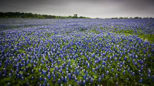 See Texass State Flower The Bluebonnet Beautifully Bloom In Spring