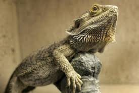 Bearded Dragon Heat Lamp Amazon by Everything You Need To Know About Bearded Dragon Food Happypets24