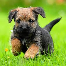 Do Border Terriers Shed by Border Terrier Breed Guide Learn About The Border Terrier