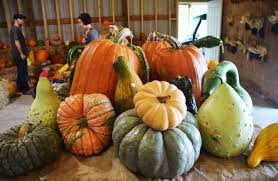Varieties Of Pumpkins by Bures Berry Patch Pumpkins Hayrides And Fall On The Farm Wort