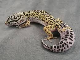 Do Leopard Geckos Shed by Leopard Gecko Eublepharis Macularius