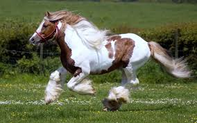 Brown And White Wild Horse Running Wide Wallpaper