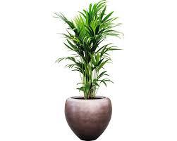 pflanzen im gefäß howea kentia palme gesamthöhe 120 140 cm ø topf 50 cm