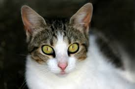 fatty liver cats liver disease in cats symptoms causes diagnosis treatment