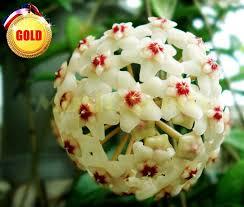 1bag 20pcs sale chlorophytum seed gaint flower bulb seeds