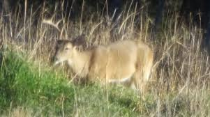 Does Deer Shed Their Antlers by When Do Bucks Shed Their Antlers Bowhunting Net