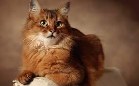 haired cat orange cat breeds purrfect cat breeds