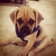 Do Pugs And Puggles Shed by 108 Best Pugs Puggles U0026 Beagles Images On Pinterest Adorable