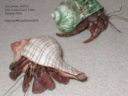 Do Hermit Crabs Shed Their Whole Body by How Old Is My Hermit Crab