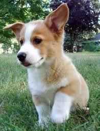 Best House Dogs That Dont Shed by Best 25 Dog Breeds That Dont Shed Ideas On Pinterest Miniature